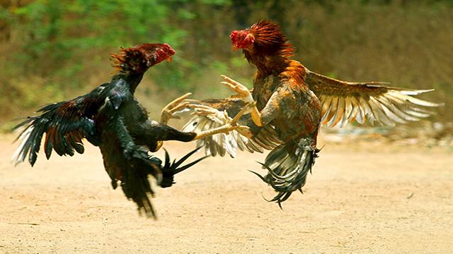 Daftar Sabung Ayam S128 Online Live